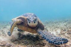 Tortue de mer verte hawaïenne Photos stock