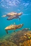 Tortue de mer verte hawaïenne Photographie stock libre de droits