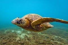 Tortue de mer verte hawaïenne Photographie stock