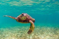 Tortue de mer verte hawaïenne Images libres de droits