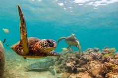 Tortue de mer verte hawaïenne Image stock