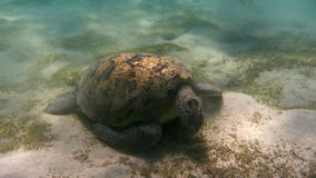 Tortue de mer verte (mydas de Chelonia) La Mer Rouge, Egypte Photographie stock