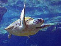 Tortue de mer verte Pacifique Images libres de droits