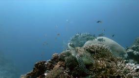 Tortue de mer verte sur des sweetlips d'un récif coralien banque de vidéos