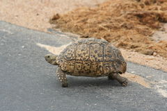 Tortue de montagne Photo stock
