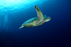 tortue de natation Photographie stock