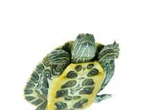 tortue de natation Image libre de droits