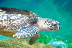 Tortue de natation Photos stock