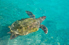 tortue de natation de mer Photographie stock