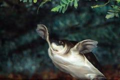 Tortue de rivière de mouche connue sous le nom d'insculpta de Carettochelys Photographie stock libre de droits