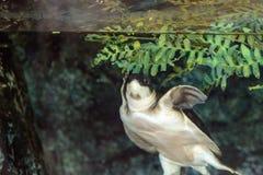 Tortue de rivière de mouche connue sous le nom d'insculpta de Carettochelys Photos libres de droits