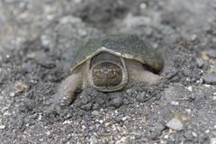 Tortue de rupture Photo libre de droits