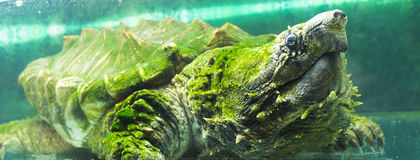 Tortue de rupture d'alligator dans un aquarium Photo stock