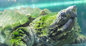 Tortue de rupture d'alligator dans un aquarium Photographie stock libre de droits