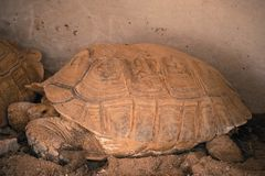 Tortue de Sulcata dans le zoo images libres de droits