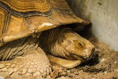 Tortue de Sulcata dans le zoo photos libres de droits