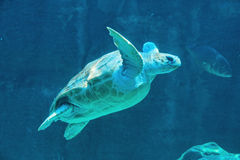 Tortue de vol Image stock