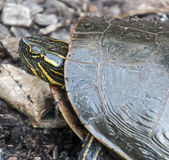 Tortue de Woodlake Photographie stock