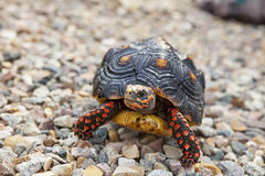 Tortue dehors Photos stock