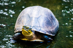 Tortue en nature Photographie stock