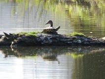 Tortue et le canard photographie stock libre de droits