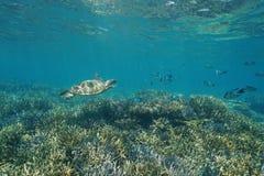 Tortue et poissons de mer sous-marins de vert de récif coralien Photos stock