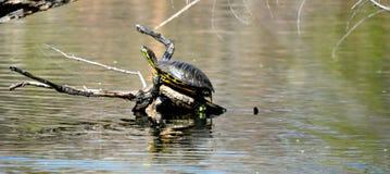 Tortue exposant au soleil sur un identifiez-vous un étang en Martin Park photo stock