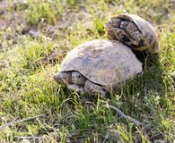 Tortue faisant l'amour image stock