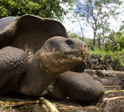 Tortue géante - îles de Galapagos Photographie stock