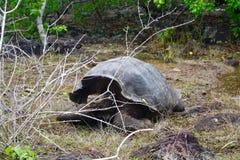 Tortue géante, îles de Galapagos, Equateur Image libre de droits