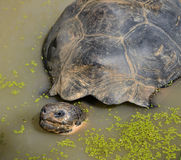 Tortue géante Photo libre de droits