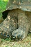 Tortue géante d'Aldabra Photographie stock