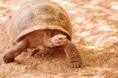 Tortue géante dans Galapagos Photos stock