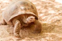 Tortue géante dans Galapagos Image libre de droits