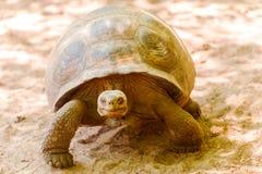 Tortue géante dans Galapagos Photographie stock