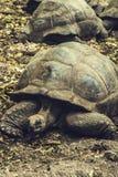 Tortue géante de Galapagos photo libre de droits
