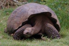 Tortue géante de Galapagos photographie stock libre de droits