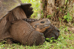Tortue géante de Galapagos avec de grands pieds. photographie stock