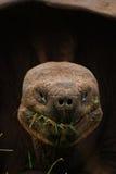 Tortue géante de Galapagos mangeant l'herbe image libre de droits