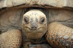 Tortue géante d'Aldabra Photo libre de droits