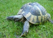 Tortue grecque de tortue sur le fond d'herbe Image stock