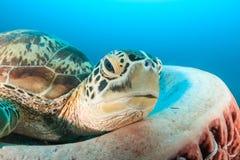 Tortue habituelle d'éponge de baril - le récif de Han Images stock