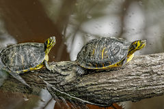 Tortue jaune de queue Image libre de droits