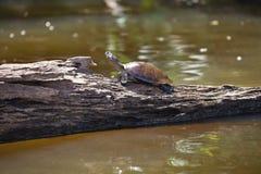 tortue Jaune-repérée du fleuve Amazone, lac Sandoval, Amazonie, Pérou d'unifilis de Podocnemis Photographie stock
