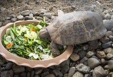 Tortue mangeant des légumes d'a photographie stock