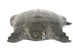 Tortue molle chinoise de Shell d'isolement images stock