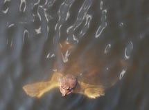 Tortue molle d'interpréteur de commandes interactif dans les marais de la Floride Image libre de droits