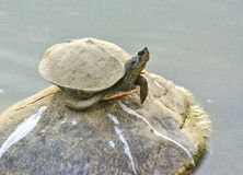 Tortue noire indienne Photographie stock