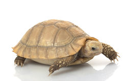 tortue oblongue Image stock