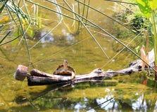 Tortue occidentale ou Pacifique d'étang détendant sur un rondin Photo libre de droits